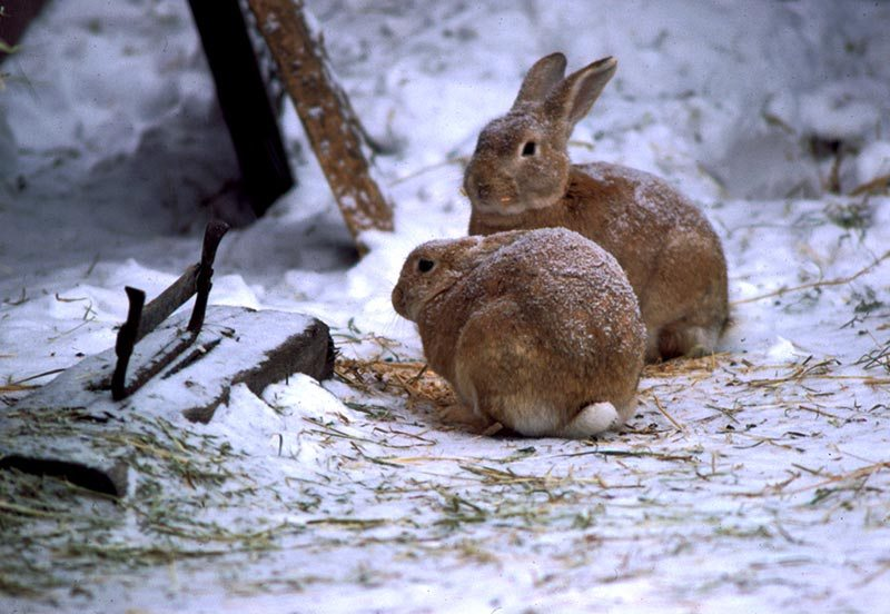 mini wild rabbits